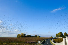 Birds over Route du Vin in France. Lots of birds in the sky in Bordeaux over the famous Route du Vin Royalty Free Stock Photos