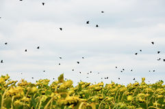 Birds over sunflowers Stock Images