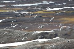 Birds over the tundra Stock Photography