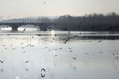 Birds over the Vltava river Stock Photo