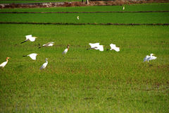Birds in the paddy field. Looking for foods royalty free stock photo