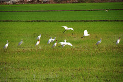 Birds in the paddy field. Looking for foods royalty free stock image