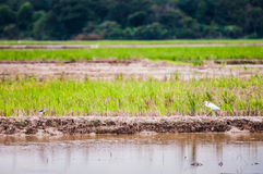 Birds at padi field Stock Photos
