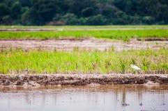Birds at padi field Stock Photos