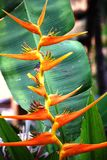 Birds of Paradise Royalty Free Stock Photography