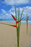 Birds of paradise. In hawaiian beach blue sky and clouds Royalty Free Stock Image