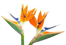 Birds of Paradise Royalty Free Stock Images