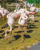 Birds paradise big flamingo family and some other birds on the background. Abirds paradise big flamingo family and some other birds on the background stock photography