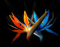 Birds of paradise dance stock images