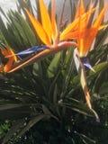 Birds of Paradise Stock Photos