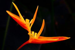 Birds of paradise flower Royalty Free Stock Images
