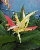 Birds of paradise & x28;heleconia& x29; stock photo