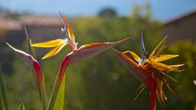 Birds of paradise kissing Royalty Free Stock Images