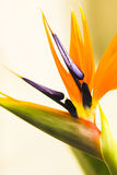 Birds of paradise. Spring flower in bloom purple orange and green Stock Photos