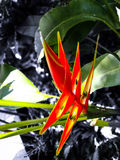 Birds-of-paradise. Strelitzia or common name of the genus is bird of paradise flower / plant, because of a resemblance of its flowers to birds-of-paradise Royalty Free Stock Photos