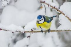 Titmouse sits on snow-covered branches in the park Royalty Free Stock Photos