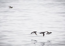 Birds passing in group with one outsider Royalty Free Stock Images