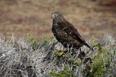 Birds of Patagonia. Royalty Free Stock Image