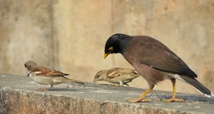 Birds pecking grains common myna and sparrow. S sitting on a wall picking abstract natural background stock photo