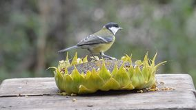 Birds pecking sunflower seeds from a sunflower lying in a manger. stock video footage