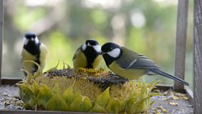 Birds pecking sunflower seeds from a sunflower lying in a manger. stock footage