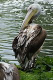 BIRDS - Pelican / Pelikan Stock Photos