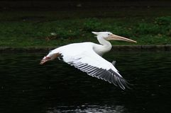 BIRDS - Pelican / Pelikan Stock Images