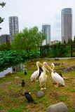 Birds pelicans ducks on shore of lotus pond. Apartment buildings on the background stock photography