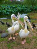 Birds pelicans ducks on shore of lotus pond royalty free stock images
