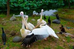 Birds pelicans ducks on shore of pond stock photos