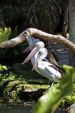 Birds pelicans. Have a rest after a lunch royalty free stock image