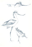 Birds pen drawing sketch Stock Photography