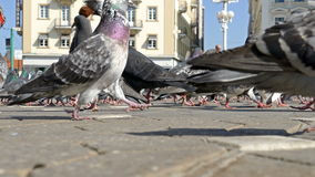 Birds and people in Victoria Square in Timisoara, Romania. TIMISOARA, ROMANIA - APRIL 15, 2016: Pigeons and people in Victoria Square in Timisoara, Romania, the stock video footage
