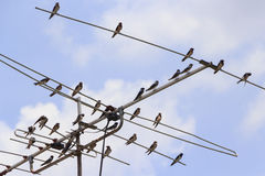 Birds perched on antenna Royalty Free Stock Photo