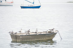 Birds perched on boat in water. A group of terns gathered on a small boat off the Bay Of Shoals on Kangaroo Island in South Australia Stock Photos