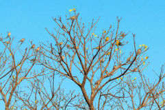 24 birds perched on branches of a tree. Tree full of birds brown and yellow. Blue sky background royalty free stock images