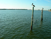 Birds perched on posts in sea. Birds perched on wooden posts in sea with coastline in background Royalty Free Stock Photo