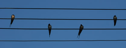 Birds perched on wires. A view of four birds perched on a series of wires against a cloudless blue sky Royalty Free Stock Photo