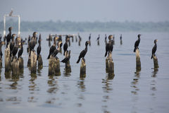 Birds perching on concrete pillars, Lake Maracaibo, Venezuela. Group of black birds standing and waiting on concrete pillars of old houses on the lake of Stock Photos