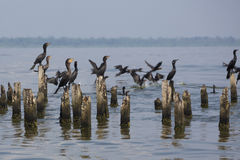 Birds perching on concrete pillars, Lake Maracaibo, Venezuela. Group of black birds standing and waiting on concrete pillars of old houses on the lake of Royalty Free Stock Photography