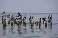 Birds perching on concrete pillars, Lake Maracaibo, Venezuela. Group of black birds standing and waiting on concrete pillars of old houses on the lake of stock image
