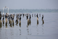 Birds perching on concrete pillars, Lake Maracaibo, Venezuela Stock Image