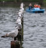 Birds perching on wooden posts in lake at Regent`s Park in London. Blurred blue boat visible in the background. Birds perching on wooden posts in lake at Regent royalty free stock images