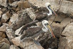 Birds - Peruvian Pelican Stock Images
