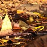 Birds phylloscopus on the wet organic soil Royalty Free Stock Photos