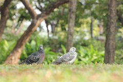 Birds (pigeon) in the grass field Royalty Free Stock Photo