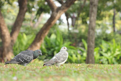 Birds (pigeon) in the grass field Royalty Free Stock Images