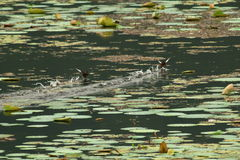 Birds playing on water Royalty Free Stock Photography