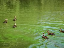 Ducks and cypress stumps. Birds in the pond at Audubon Park in Louisiana Royalty Free Stock Photo