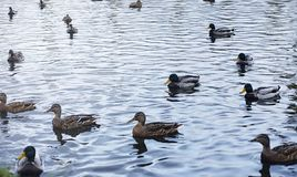 Birds on the pond. A flock of ducks and pigeons by the water. Mi. Gratory birds by lake.r Royalty Free Stock Image
